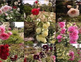 아욱과 학명 Althaea rosea  개화기: 6월~9월  중국원산