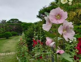 엄마의 품처럼 편하고 정겨운 꽃..    접시꽃!울산테마수목원의 접시꽃은 ..쨍한 여름 태양아래 수줍은 듯  환하게 형형색색 다양한 자태로 아름다움을 과시하여  보는 이로 하여금 황홀하게 만듭니다.    이름처럼 납작한 접시를 닮은 접시꽃.  아욱과의 여러해살이 초본식물6월~9월에 잎겨드랑이에서 짧은 자루가 있는 꽃이 아래쪽부터 피기 시작하여 점차 위로 올라간다. 꽃의 생김새는 멀리서 얼핏 보면 무궁화꽃과 흡사하다. 꽃이 질 때는 무궁화처럼 피었던 꽃잎을 다시 오므려 통째로 떨어진다꽃말: 단순, 편안, 다산, 풍요 (단순한 사랑, 아양 떠는 사랑)